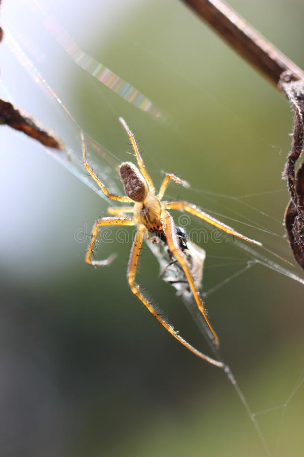 Une araignée de jardin photos stock