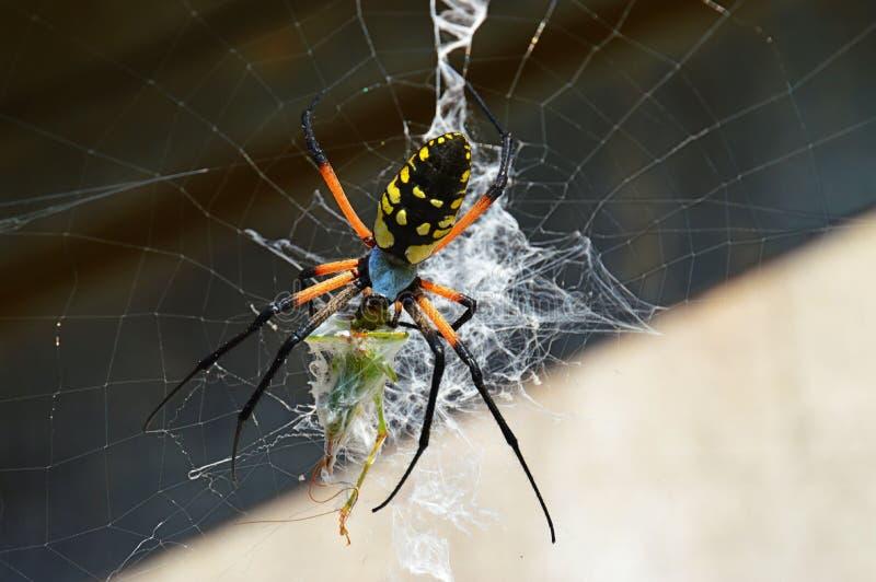 Une araignée de jardin consomme une sauterelle photo stock