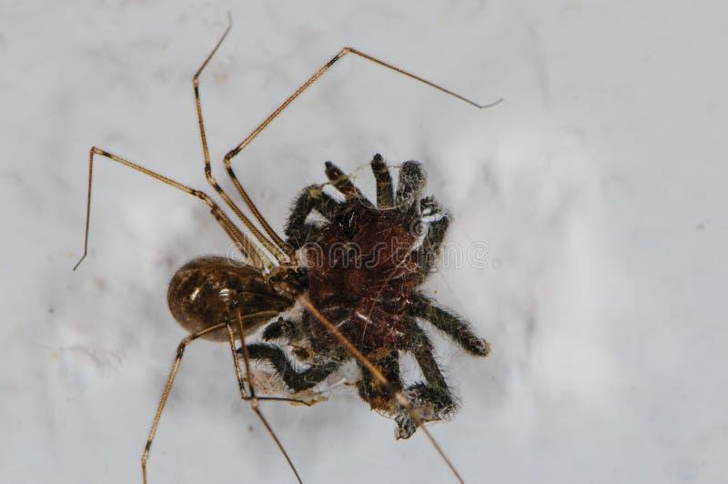 Une araignée de Longleg de papa maîtrise une tarentule photographie stock libre de droits