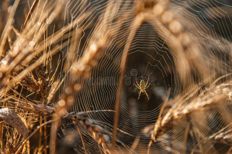 Une araignée en Web dans un bosquet de blé Zone de bl? un jour ensoleill? Oreilles d'or de bl? photo libre de droits