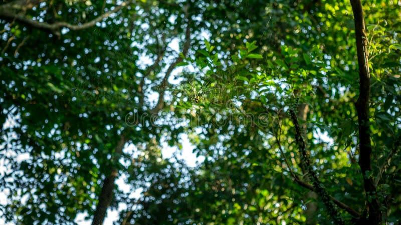 Une araignée géante femelle en bois dans la forêt de montagne de Taïpeh, Taïwan photographie stock libre de droits