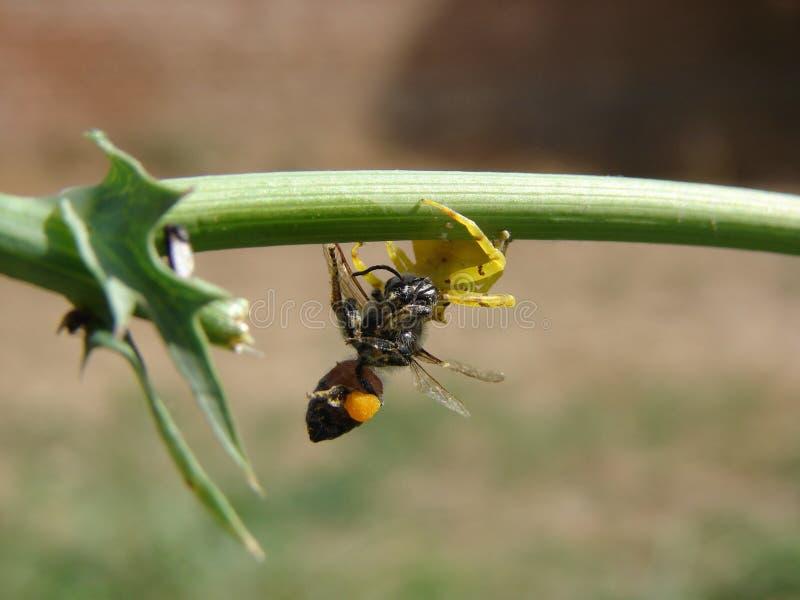 Une araignée jaune mangeant une mouche photo stock