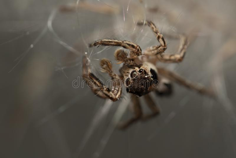 Une araignée marche sur la fourrure blanche de l'herbe images libres de droits