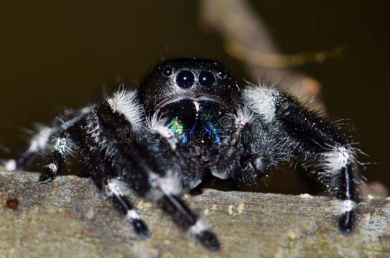 Une araignée sautante audacieuse scrutant au-dessus d'une branche d'arbre photographie stock
