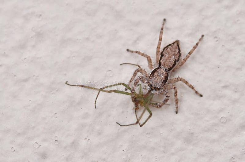 Une araignée sautante avec la proie photographie stock libre de droits
