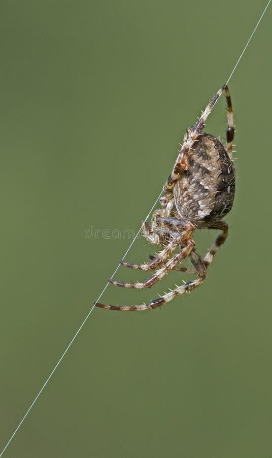 Une araignée sur un brin de Web images stock