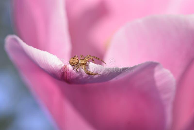 Une araign?e de dormeur ?tablit un Web sur une tulipe images stock