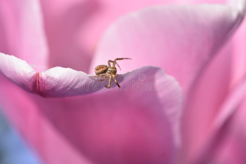 Une araign?e de dormeur ?tablit un Web sur une tulipe photos stock