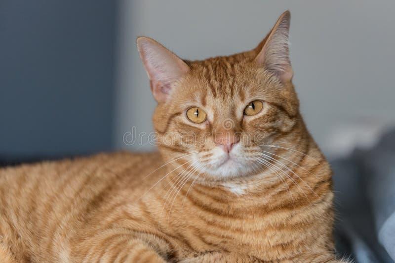Une attention non répartie de chat rayé photographie stock libre de droits