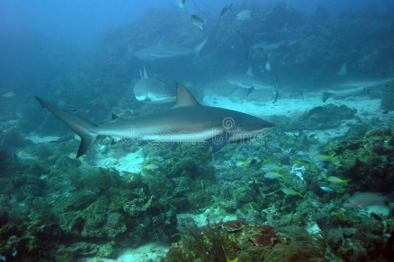 Une autre école de requin de récif image stock
