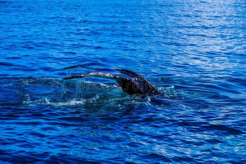 Une baleine plongeant sous l'eau