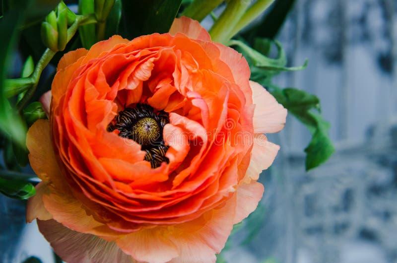 Une beauté, jaillissent orange, macro persan de ranunculus de renoncule de fleur Style rustique, toujours la vie Fond coloré de v image stock