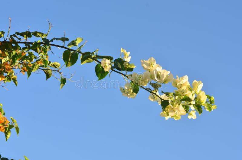 Une belle branche de bouganvillée cintrant vers le bas contre le ciel azuré images libres de droits