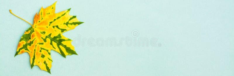 Une belle feuille d'érable tombée chinée vert jaunâtre photo libre de droits