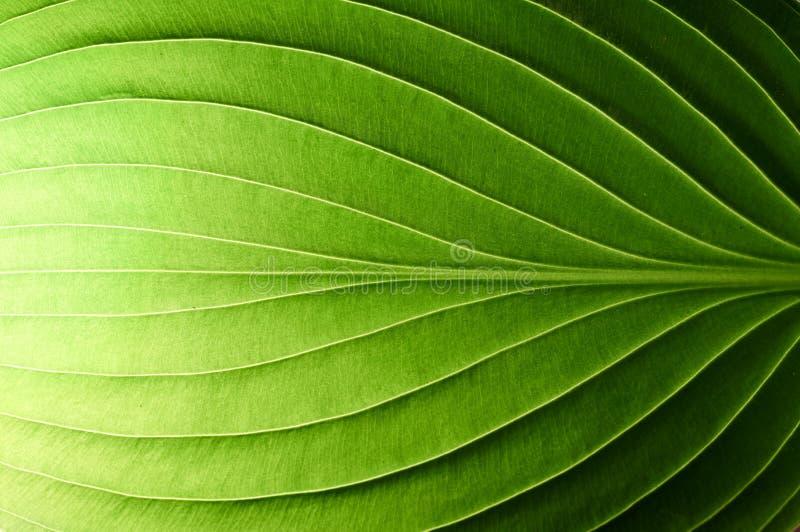 Une belle feuille verte fraîche a accentué par le soleil photo stock