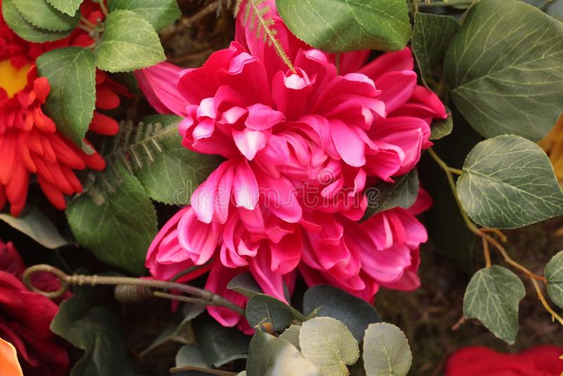 Une belle fleur avec la combinaison de couleurs rouge et rose image stock