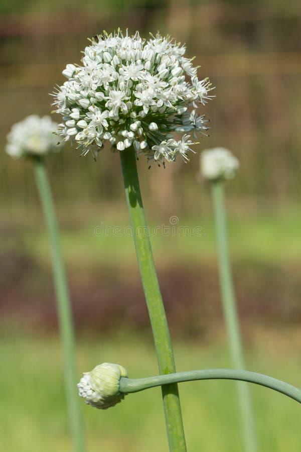 Une belle fleur blanche Floraison des oignons verts image libre de droits