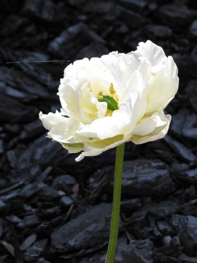 Une belle fleur blanche non identifiée sur un fond en bois d'écorce images stock
