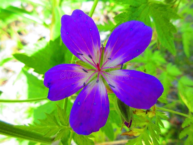 Une belle fleur bleu-violet qui ressemble à une star de la beauté image stock