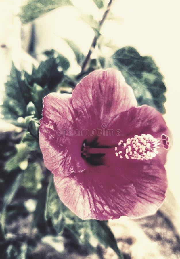 Une belle fleur de ketmie avec un contact esthétique photographie stock libre de droits