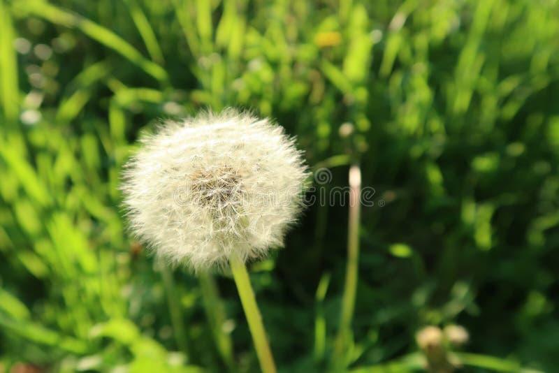 Une belle fleur de pissenlit dans le domaine de l'herbe avec le fond vert trouble photographie stock libre de droits