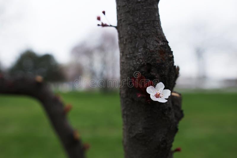 Une belle fleur fleurissant sur l'arbre de ressort photos libres de droits