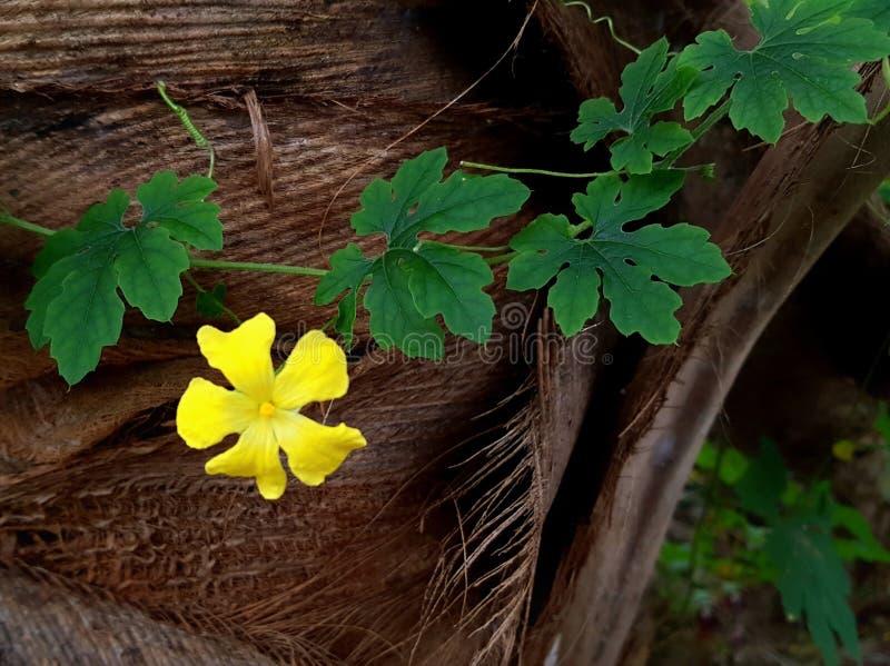 Une belle fleur jaune et un congé vert de melon amer image stock