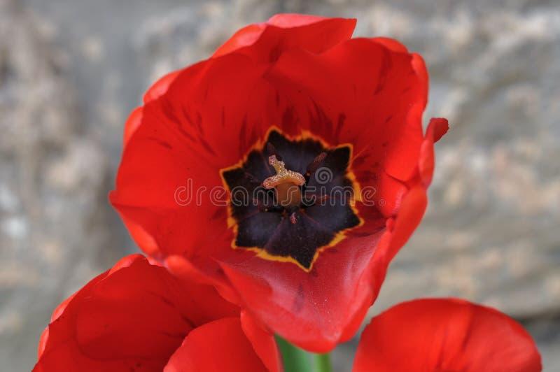Une belle fleur rouge avec des pétales avec le fond blured photographie stock libre de droits