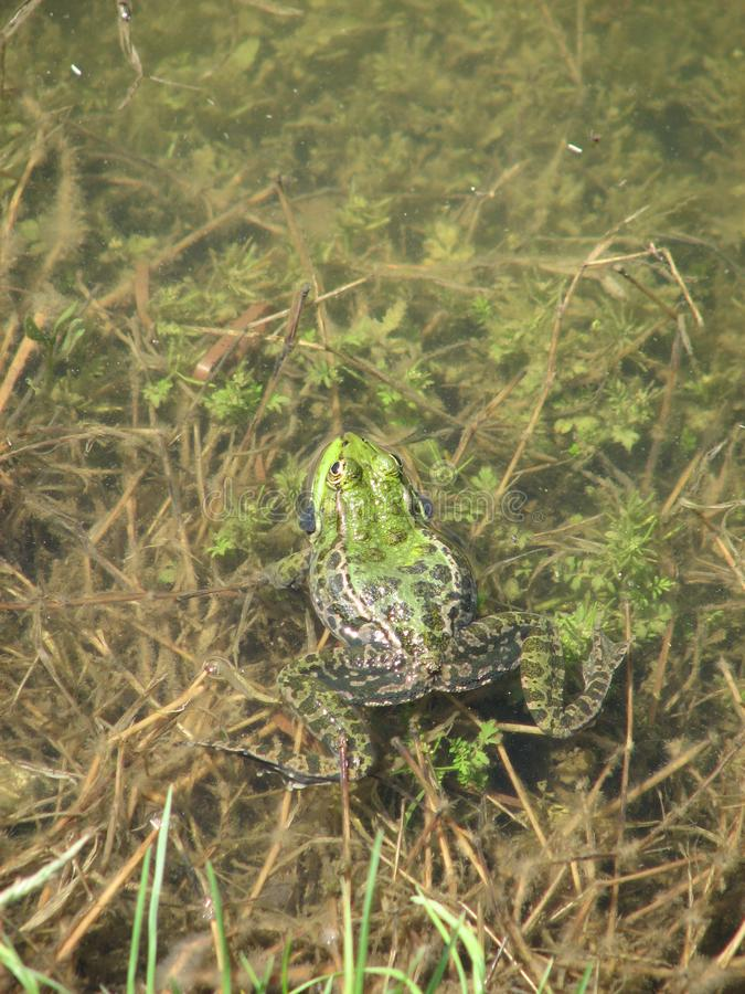 Une belle grenouille verte dans une zone rurale de l'Azerbaïdjan photographie stock libre de droits