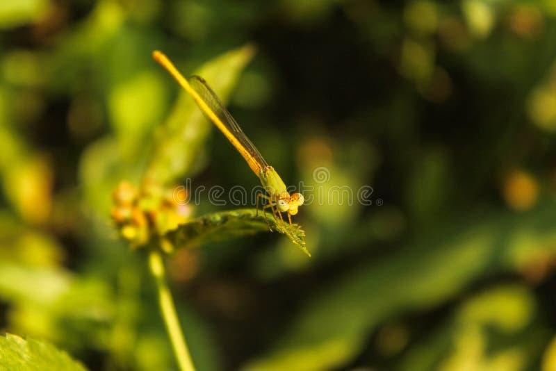 Une belle libellule vert jaunâtre sur une feuille image stock