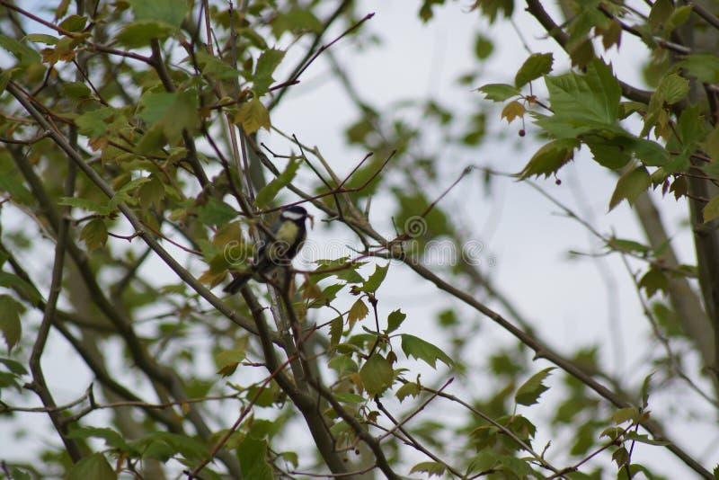 Une belle mésange qui se repose sur une branche, avec un vers dans le bec Vue de côté photographie stock libre de droits