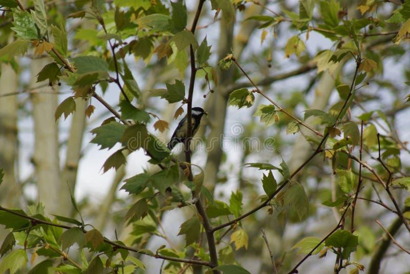 Une belle mésange qui se repose sur une branche - vue de côté - des Frances image libre de droits