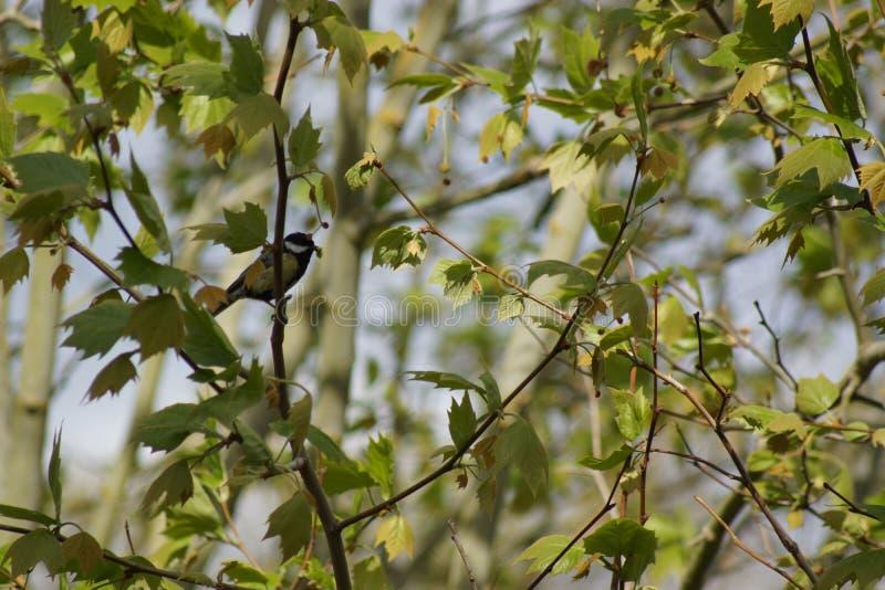 Une belle mésange qui se repose sur une branche - vue de côté - des Frances photographie stock libre de droits