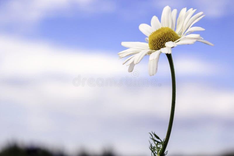 Une belle marguerite contre un ciel bleu lumineux photo stock