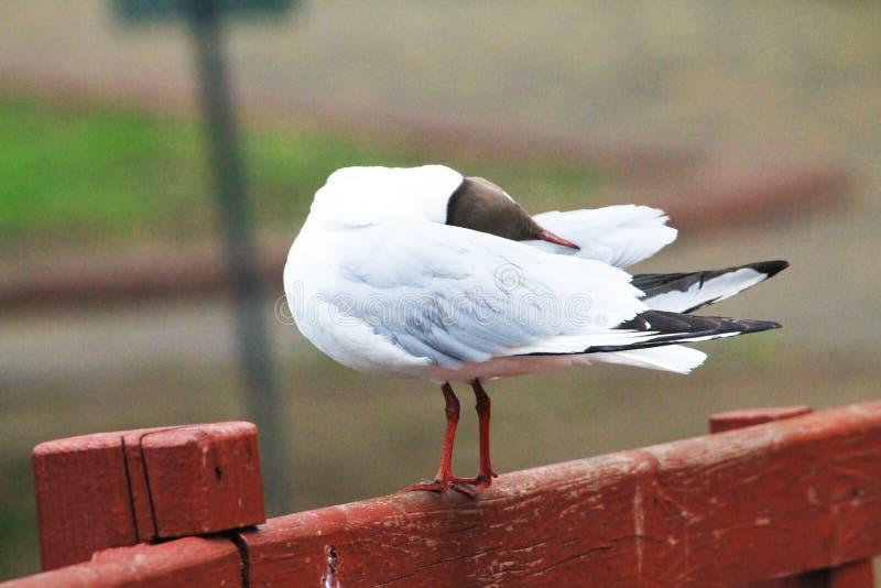 Une belle mouette dort et ses plumes balancent dans le vent photo libre de droits