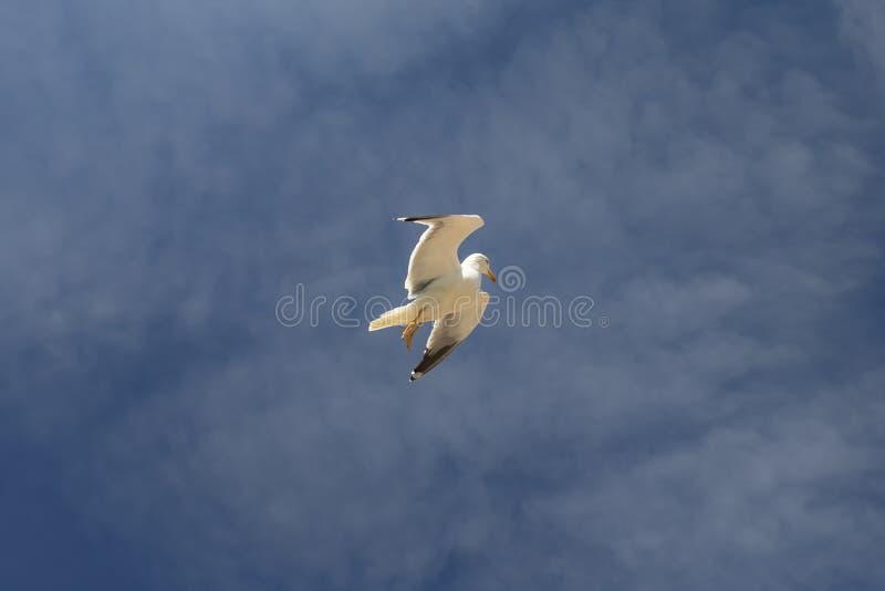 Une belle mouette vole contre le ciel bleu photos stock