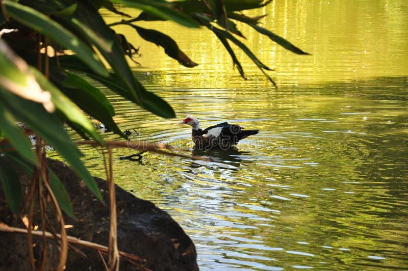 Une belle natation de canard dans l'étang image stock