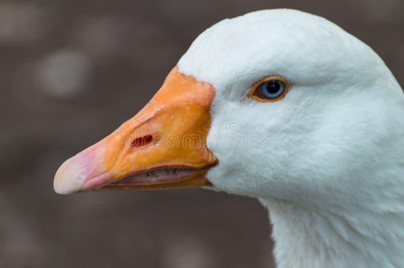 Une belle oie blanche a capturé le plan rapproché et dans le profil image libre de droits