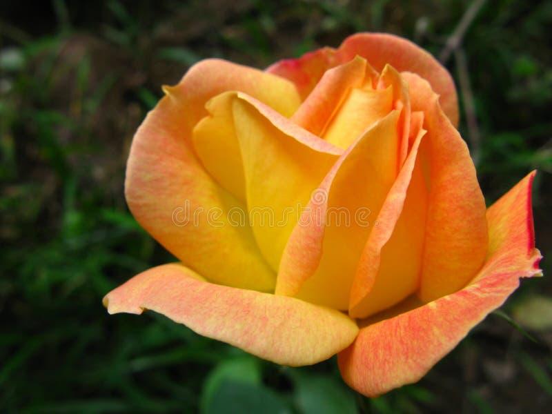 Une belle orange jaunâtre s'est levée avec les pétales détaillés images stock