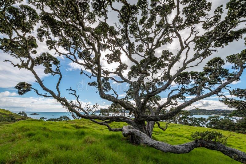 Une belle photo d'un grand arbre de Pohutukawa images stock