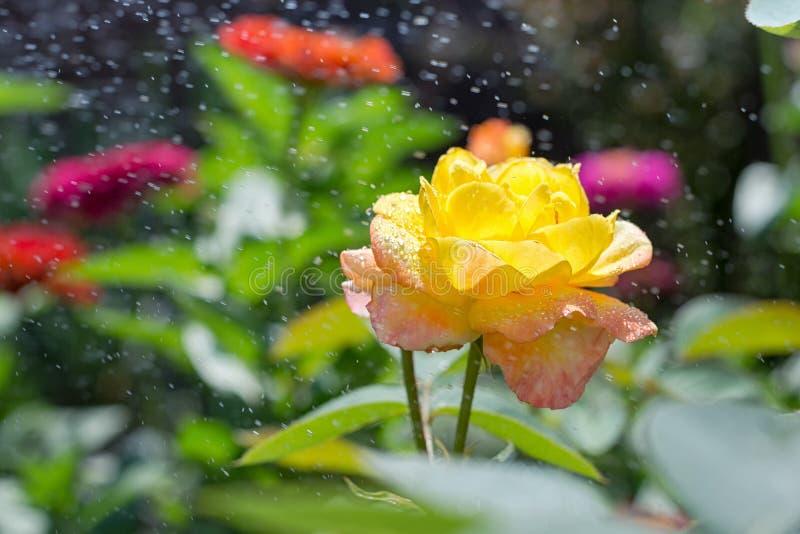 Une belle rose de jaune dans le jardin avec éclabousse de l'eau image libre de droits