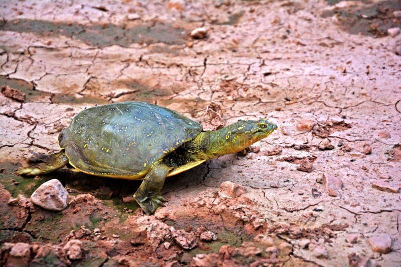 Une belle tortue asiatique image libre de droits