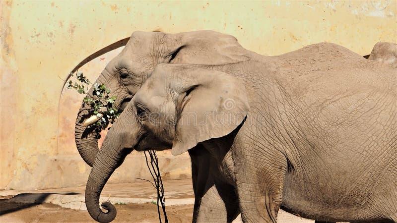 Une belle vue des paires d'éléphants images libres de droits