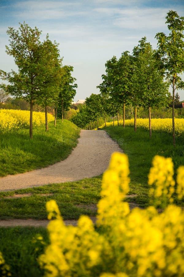Une bicyclette avec un panier de pique-nique devant un champ jaune fleurissant image libre de droits