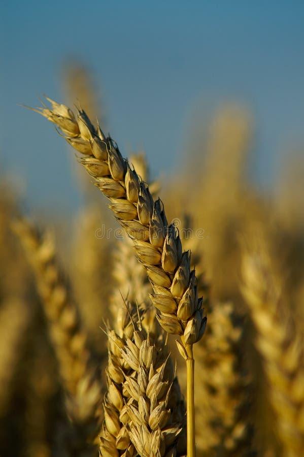 Une blé-transitoire image libre de droits