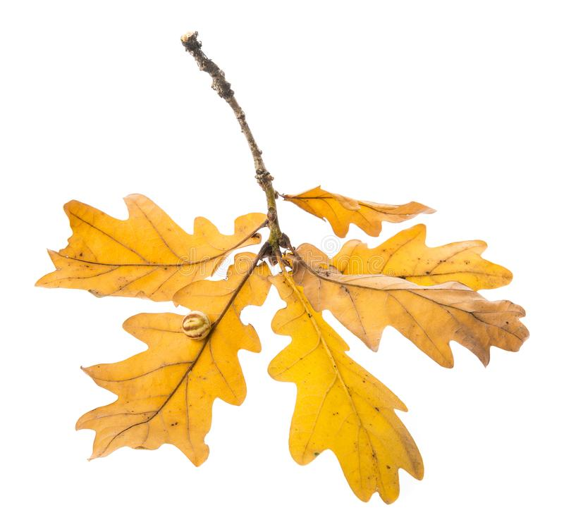Une branche automnale de chêne image stock