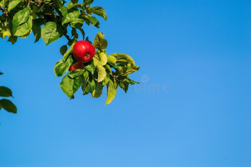 Une branche avec la pomme rouge photo stock