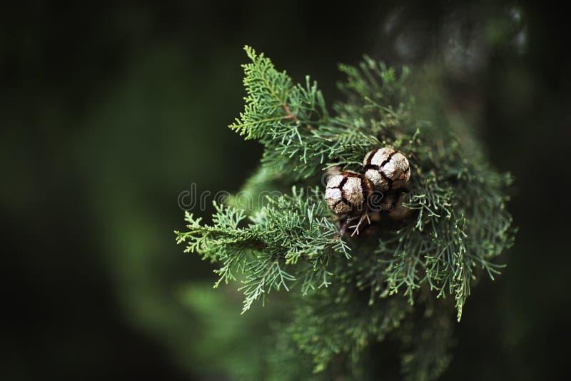 Une branche avec les aiguilles molles et les cônes en gros plan sur un fond brouillé vert-foncé image libre de droits