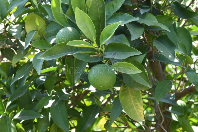 Une branche avec les mandarines vertes photos libres de droits