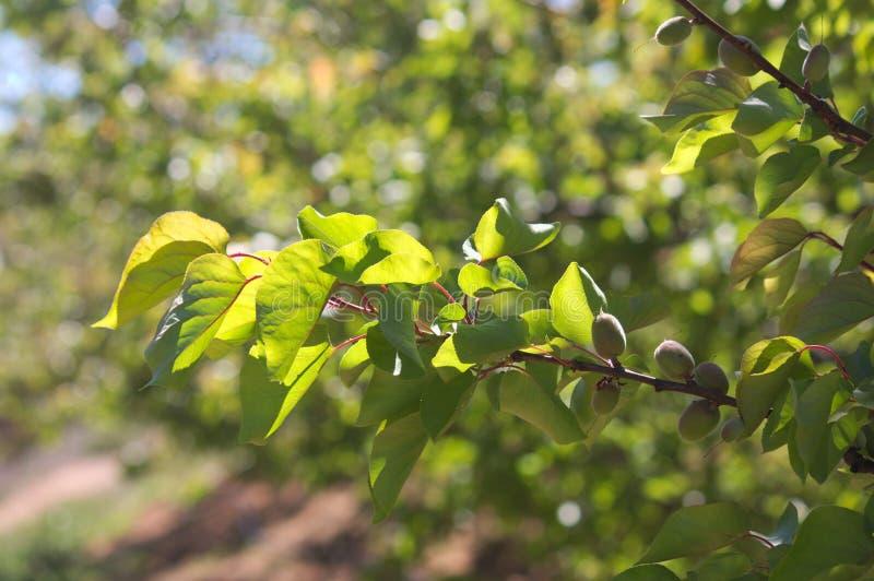 Une branche d'abricotier avec des fruits encore non mûrs photographie stock